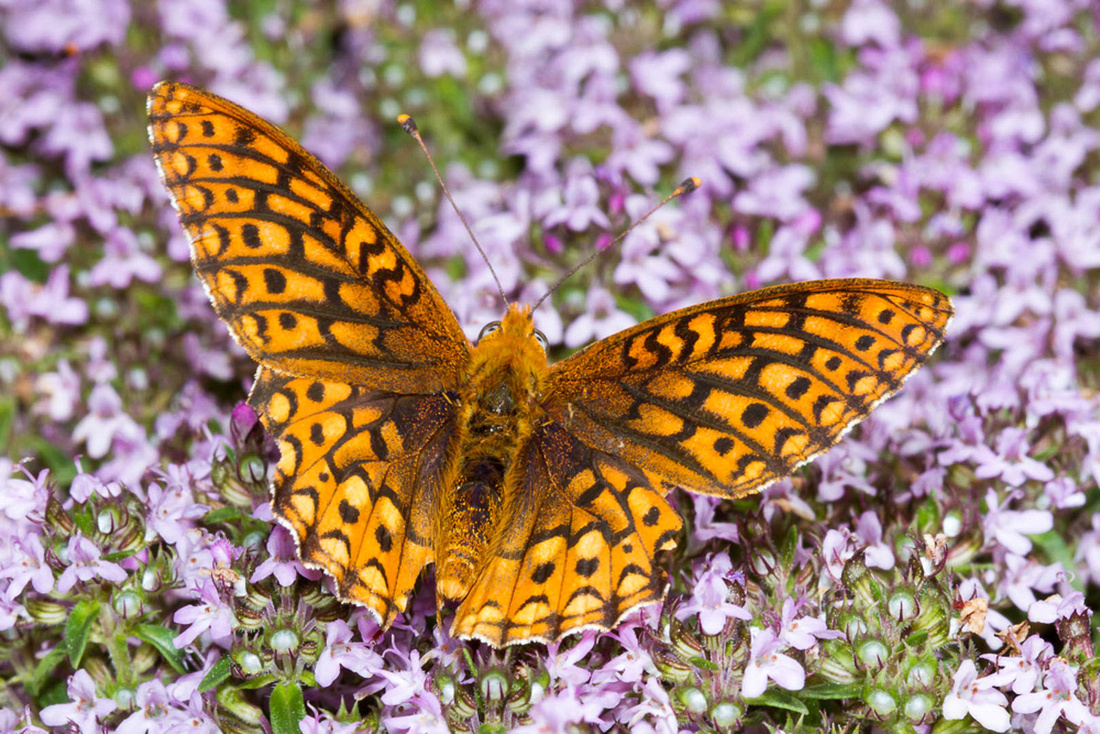 checkerspot butterfly on thyme dorsal