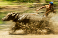 Water Buffalo races - Flores - Indonesia